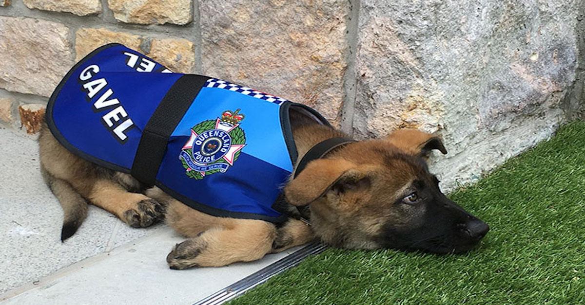 """Policejní pes """"dostal padáka"""", protože byl příliš přátelský, ale nakonec dostal ještě lepší práci"""