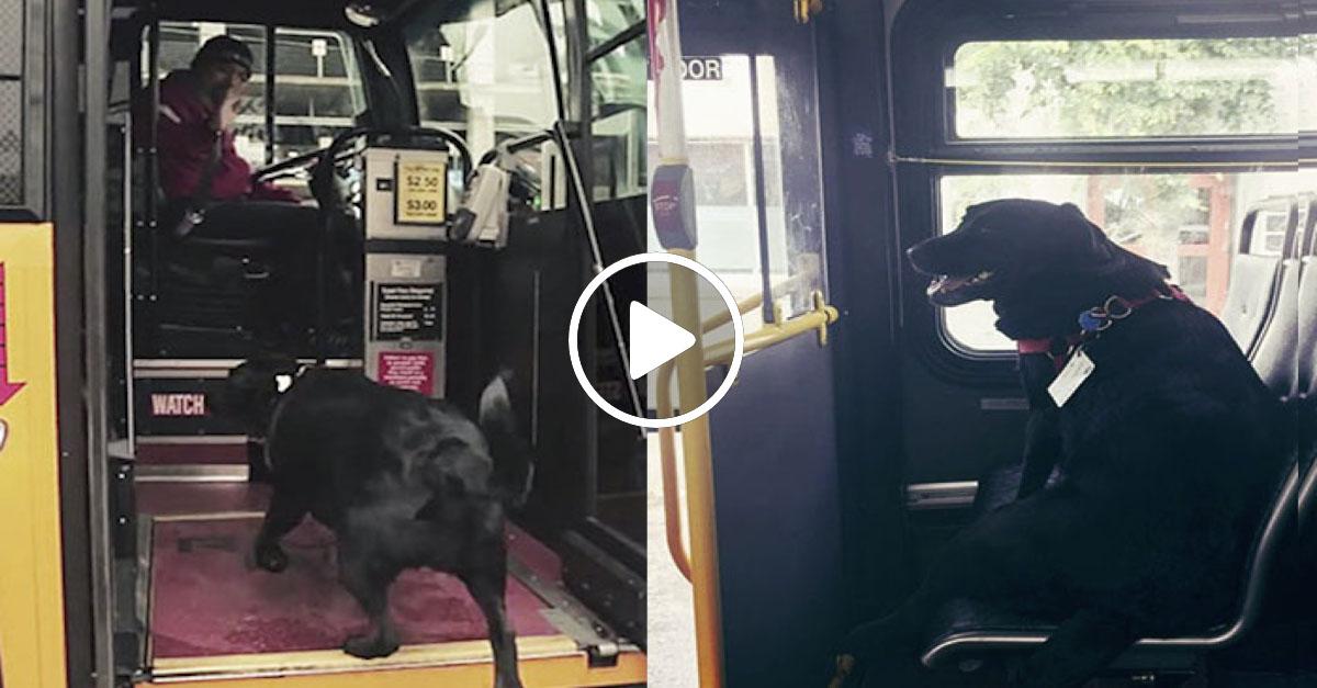 Labrador každý den zvládá cestu MHD do parku naprosto sám