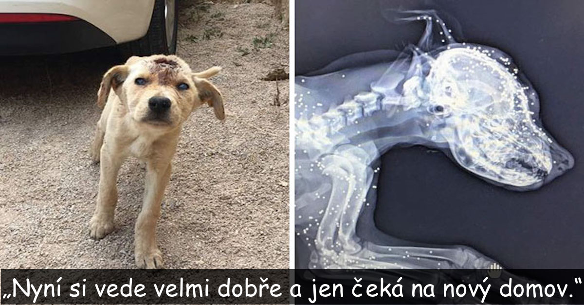 Tohle pouliční štěně bylo několikrát střeleno do hlavy, ale to mu nevzalo sílu bojovat