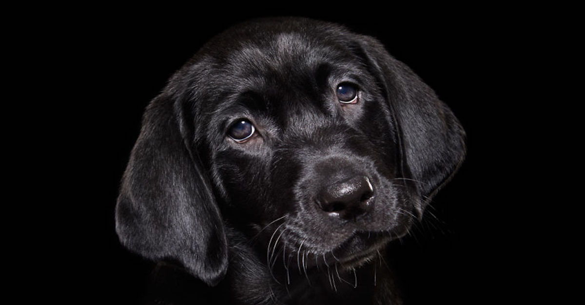 Přehlížení černí psi v útulcích: Fotograf řeší jejich problém