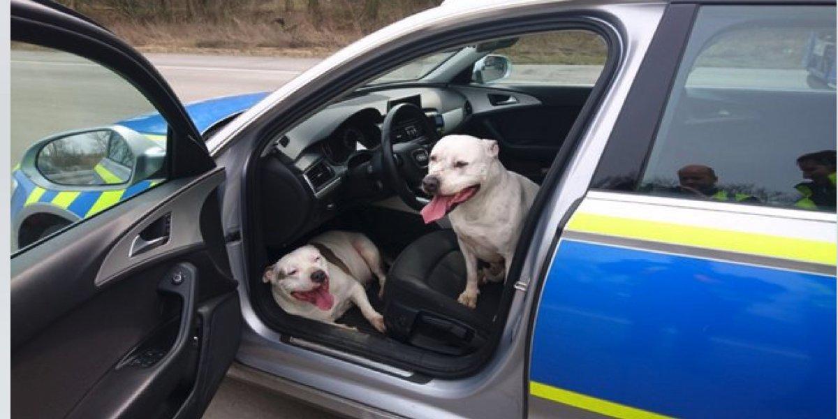 Ztracení psi ukradli policejní automobil, policisté nevěřili svým očím...