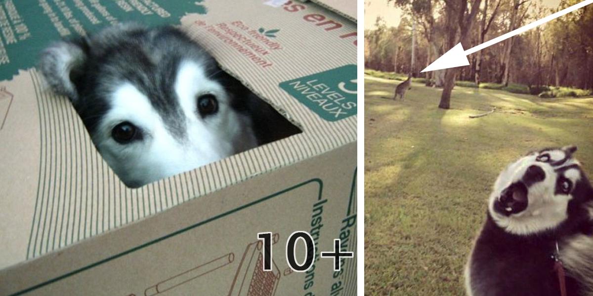 15x Husky: Jak ho ještě neznáte