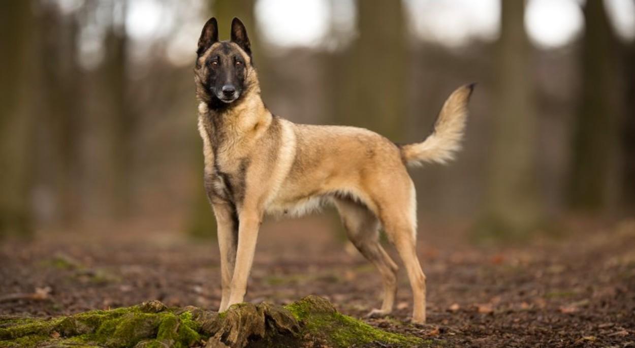 Belgický ovčák malinois je velmi oblíbeným pracovním psem s vynikajícími  povahovými vlastnostmi. Na první pohled možná hrozivě nevypadá 923881ed656
