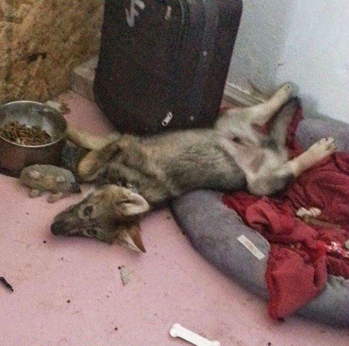 chov_vlka_jako_psa_chovani_vlka_vlk_do_domova_domu_rozdil_psa_a_vlka1