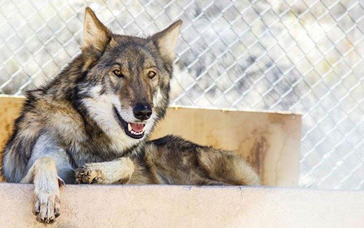 chov_vlka_jako_psa_chovani_vlka_vlk_do_domova_domu_rozdil_psa_a_vlka7