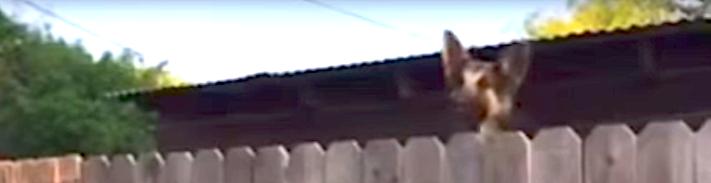 pes_fena_německý_ovčák_vlčák_nevidí_přes_plot_řešení_díry_do_plotu_pro_psa2