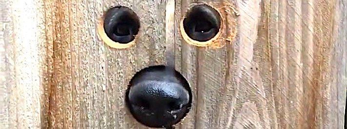 pes_fena_německý_ovčák_vlčák_nevidí_přes_plot_řešení_díry_do_plotu_pro_psa4