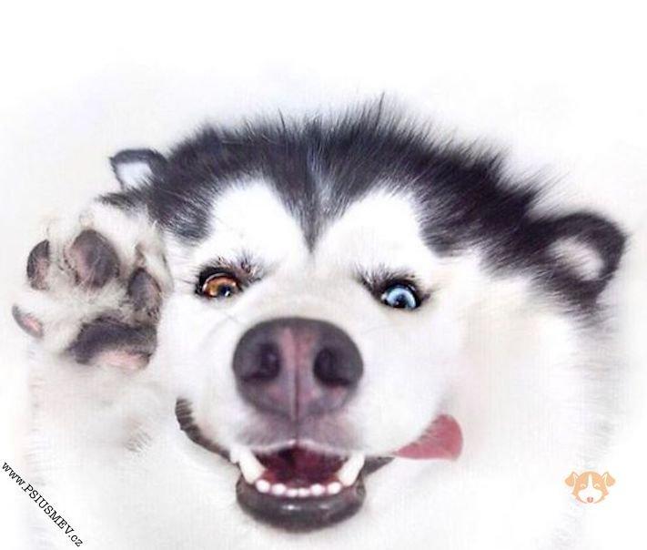 hasky_sibiřský_husky_obrázky_haskyho_hazky_plemeno_psa_štěňata_štěně_fotografie_nejlepší_nejkrásnější_psí_úsměv2