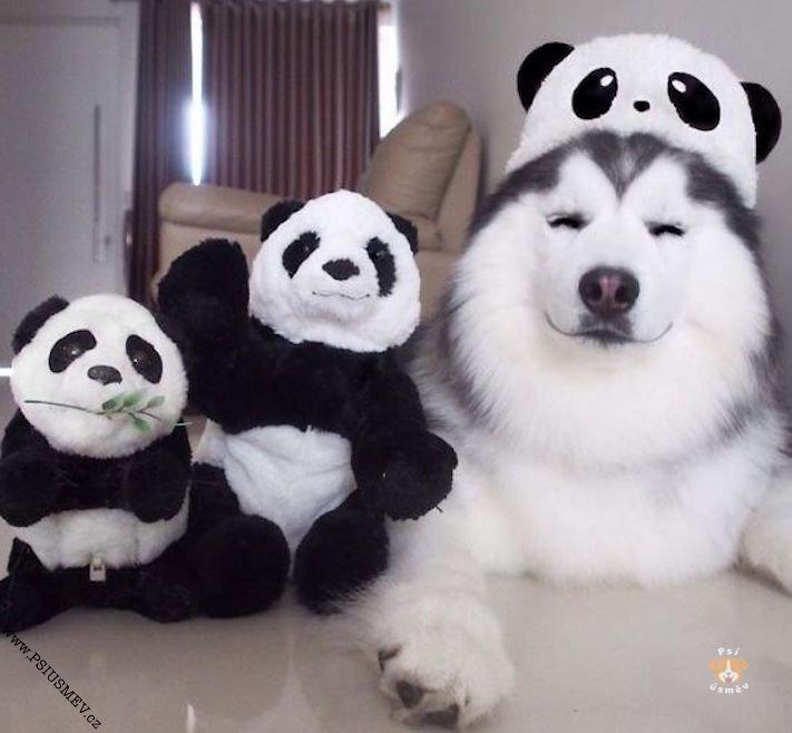 hasky_sibiřský_husky_obrázky_haskyho_hazky_plemeno_psa_štěňata_štěně_fotografie_nejlepší_nejkrásnější_psí_úsměv3