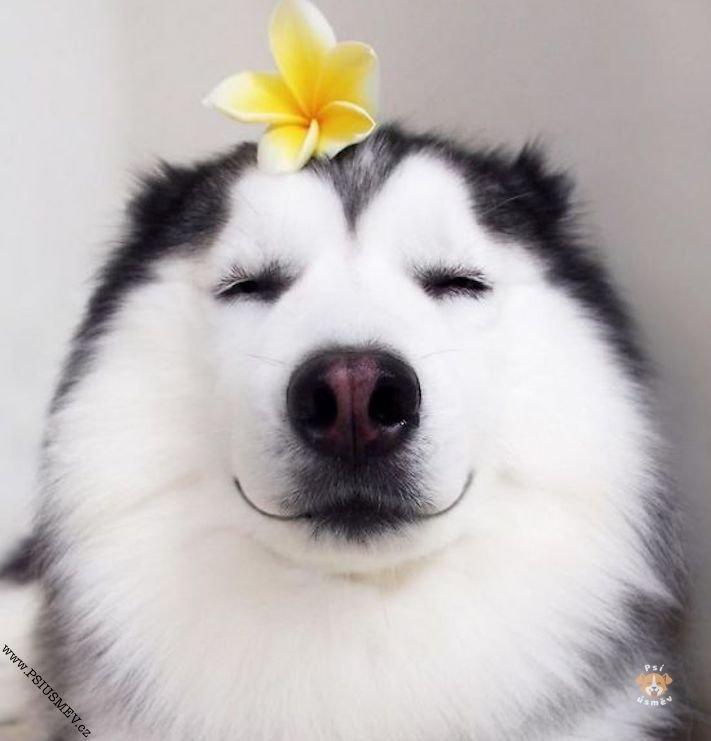 hasky_sibiřský_husky_obrázky_haskyho_hazky_plemeno_psa_štěňata_štěně_fotografie_nejlepší_nejkrásnější_psí_úsměv4