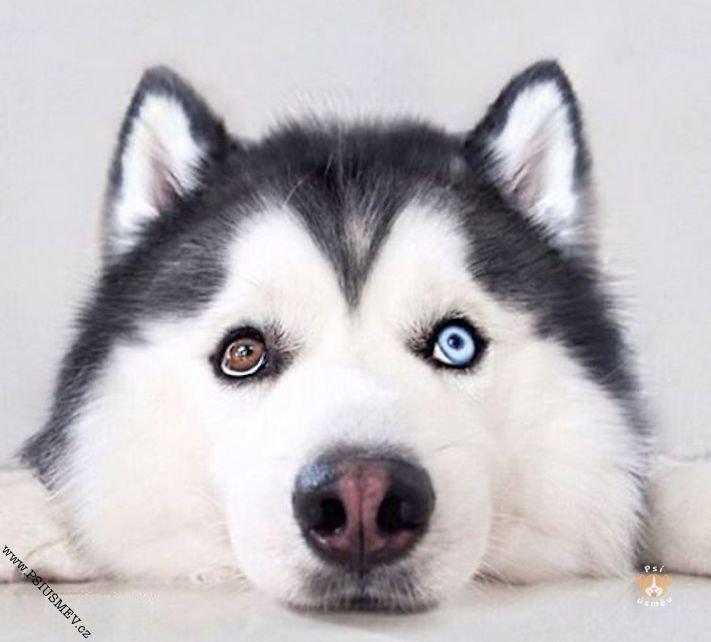 hasky_sibiřský_husky_obrázky_haskyho_hazky_plemeno_psa_štěňata_štěně_fotografie_nejlepší_nejkrásnější_psí_úsměv6