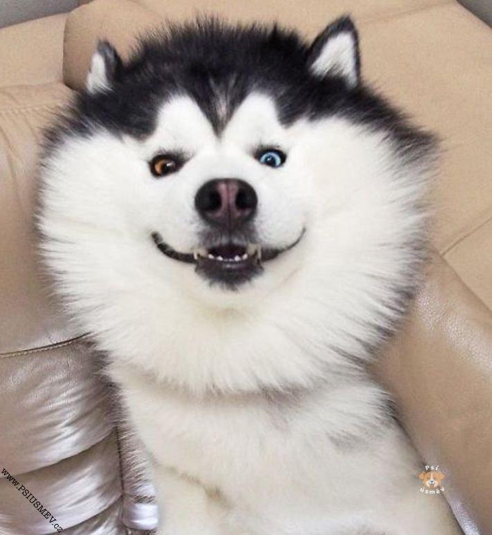 hasky_sibiřský_husky_obrázky_haskyho_hazky_plemeno_psa_štěňata_štěně_fotografie_nejlepší_nejkrásnější_psí_úsměv8