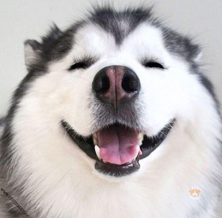 hasky_sibiřský_husky_obrázky_haskyho_hazky_plemeno_psa_štěňata_štěně_fotografie_nejlepší_nejkrásnější_psí_úsměv9