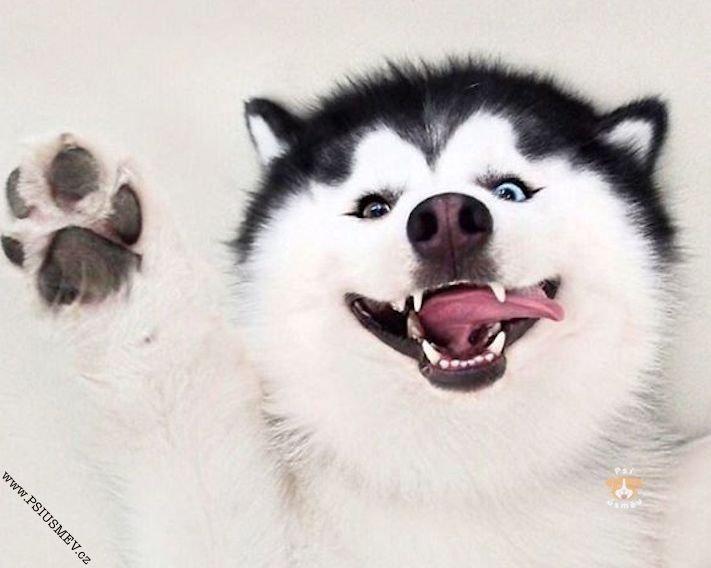 hasky_sibiřský_husky_obrázky_haskyho_hazky_plemeno_psa_štěňata_štěně_fotografie_nejlepší_nejkrásnější_psí_úsměv10