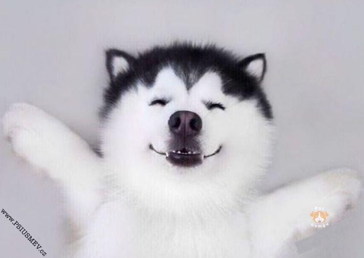 hasky_sibiřský_husky_obrázky_haskyho_hazky_plemeno_psa_štěňata_štěně_fotografie_nejlepší_nejkrásnější_psí_úsměv14