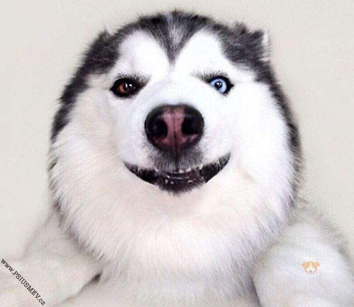 hasky_sibiřský_husky_obrázky_haskyho_hazky_plemeno_psa_štěňata_štěně_fotografie_nejlepší_nejkrásnější_psí_úsměv18
