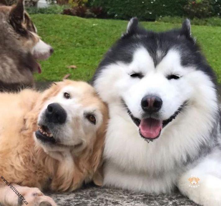 hasky_sibiřský_husky_obrázky_haskyho_hazky_plemeno_psa_štěňata_štěně_fotografie_nejlepší_nejkrásnější_psí_úsměv19