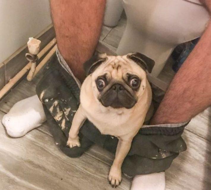 mopslík_plemeno_psa_mop_závislý_pes_na_majiteli_na_wc_toaletě_záchodě_mops2