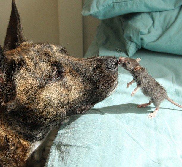 myš_krysa_se_psem_domácí_mazlíček_neobvyklé_přátelství_zvířat_na_doma_obrázky_psí_úsměv14