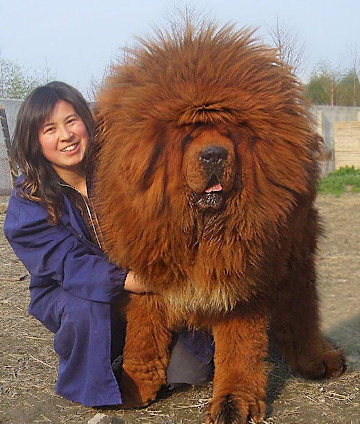 největší_plemena_psů_na_světě_obří_psí_plemena_největší_psi_obrázky1