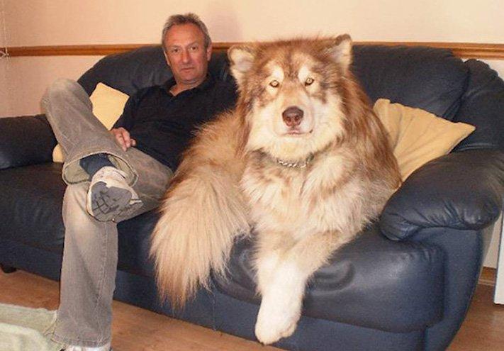největší_plemena_psů_na_světě_obří_psí_plemena_největší_psi_obrázky9