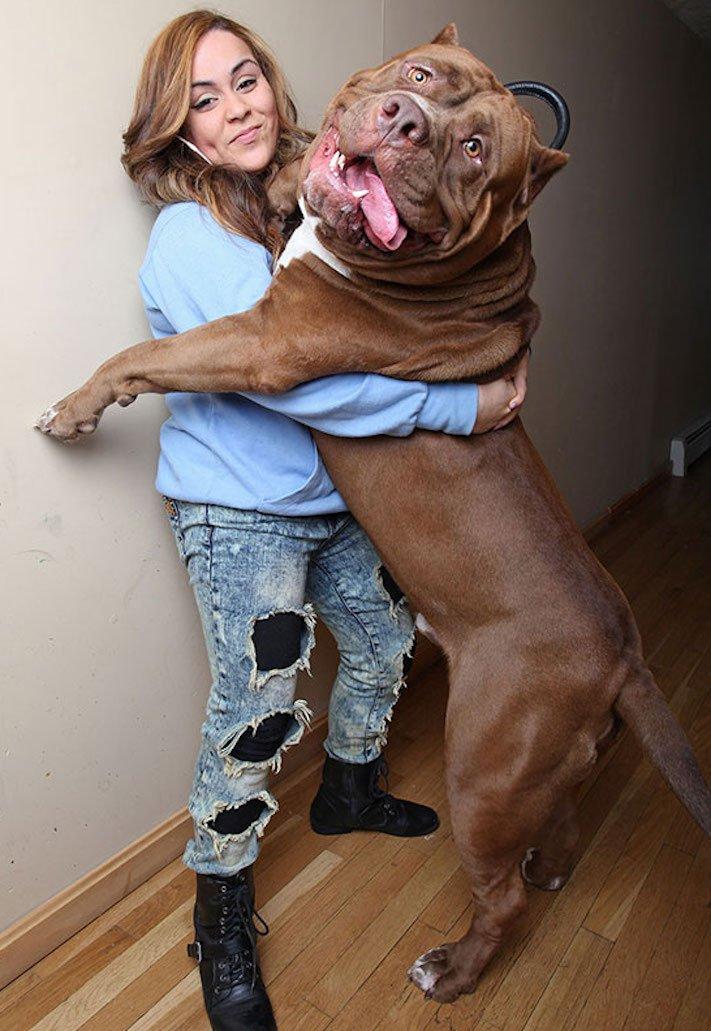 největší_plemena_psů_na_světě_obří_psí_plemena_největší_psi_obrázky10
