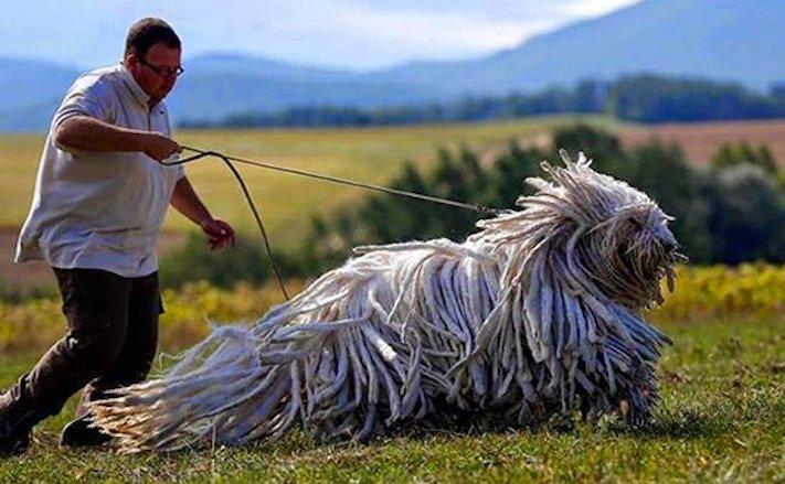 největší_plemena_psů_na_světě_obří_psí_plemena_největší_psi_obrázky11