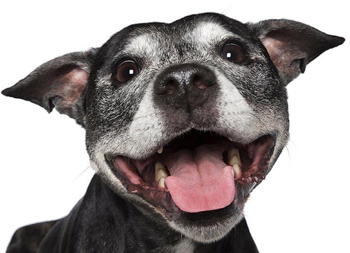 psí_úsměv_pes_se_směje_smějící_se_pes_úsměv_psa_obrázky1