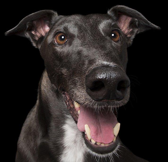 psí_úsměv_pes_se_směje_smějící_se_pes_úsměv_psa_obrázky3