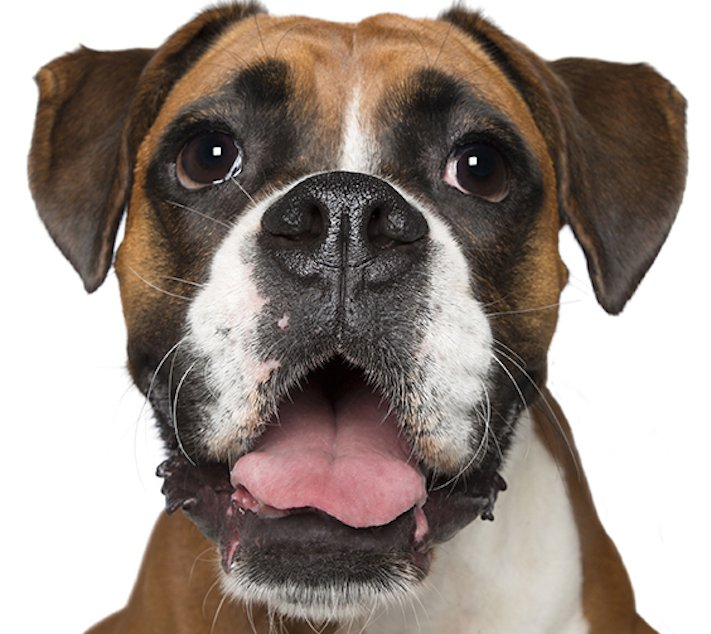 psí_úsměv_pes_se_směje_smějící_se_pes_úsměv_psa_obrázky5