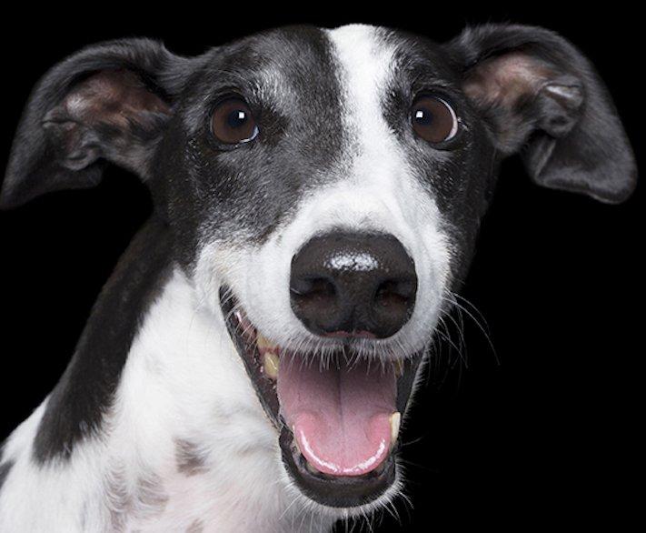 psí_úsměv_pes_se_směje_smějící_se_pes_úsměv_psa_obrázky6