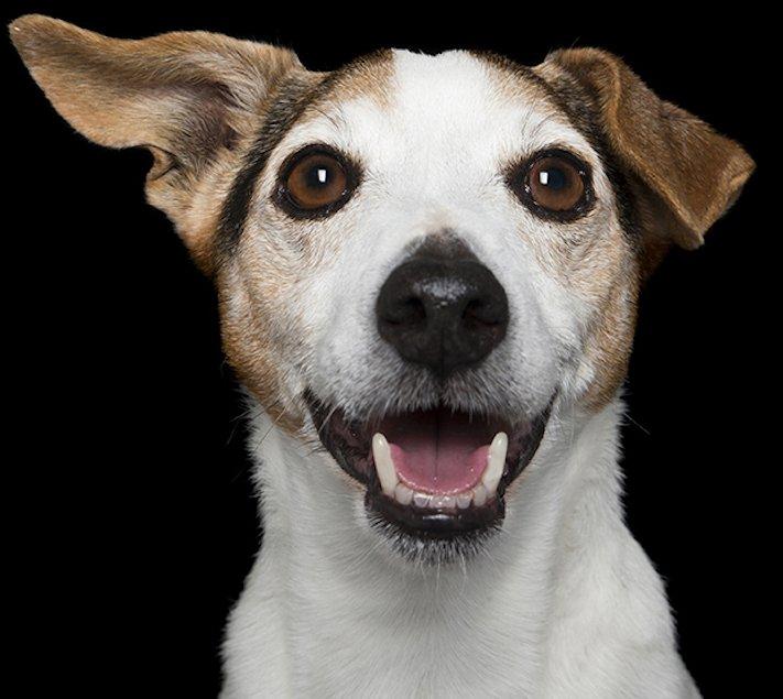 psí_úsměv_pes_se_směje_smějící_se_pes_úsměv_psa_obrázky12