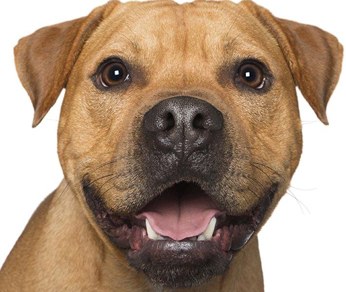 psí_úsměv_pes_se_směje_smějící_se_pes_úsměv_psa_obrázky13