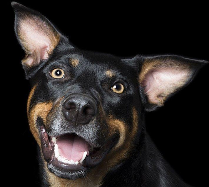 psí_úsměv_pes_se_směje_smějící_se_pes_úsměv_psa_obrázky14