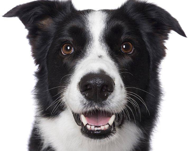 psí_úsměv_pes_se_směje_smějící_se_pes_úsměv_psa_obrázky15