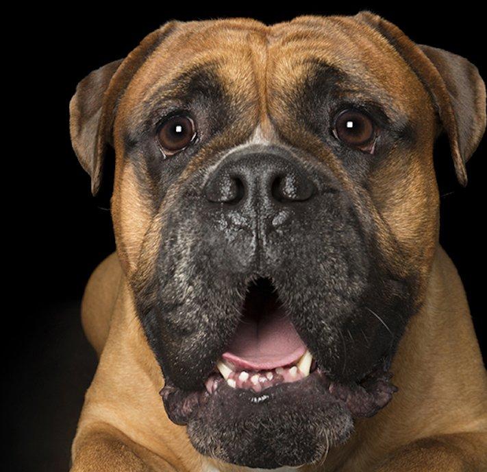 psí_úsměv_pes_se_směje_smějící_se_pes_úsměv_psa_obrázky16
