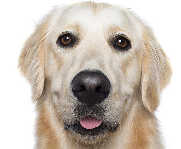 psí_úsměv_pes_se_směje_smějící_se_pes_úsměv_psa_obrázky17
