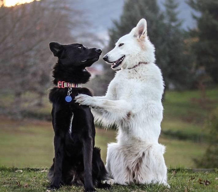psí_svatební_fotografie_psů_německý_ovčák_kanadsko_americký_ovčák_ovčáci_vlčák_obrázky8