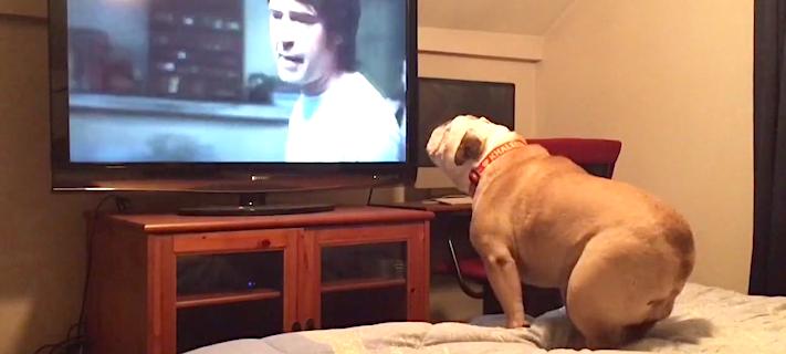 pes buldok bulldog buldog buldog sleduje televizi film tv horor horror