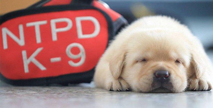 policejní pes psi zlatý retrívr retriever labradorský labrador obrázky štěňat štěně hledání výbušnin drog pachatelů zloděju psy1