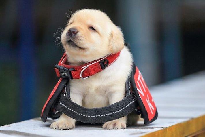 policejní pes psi zlatý retrívr retriever labradorský labrador obrázky štěňat štěně hledání výbušnin drog pachatelů zloděju psy2