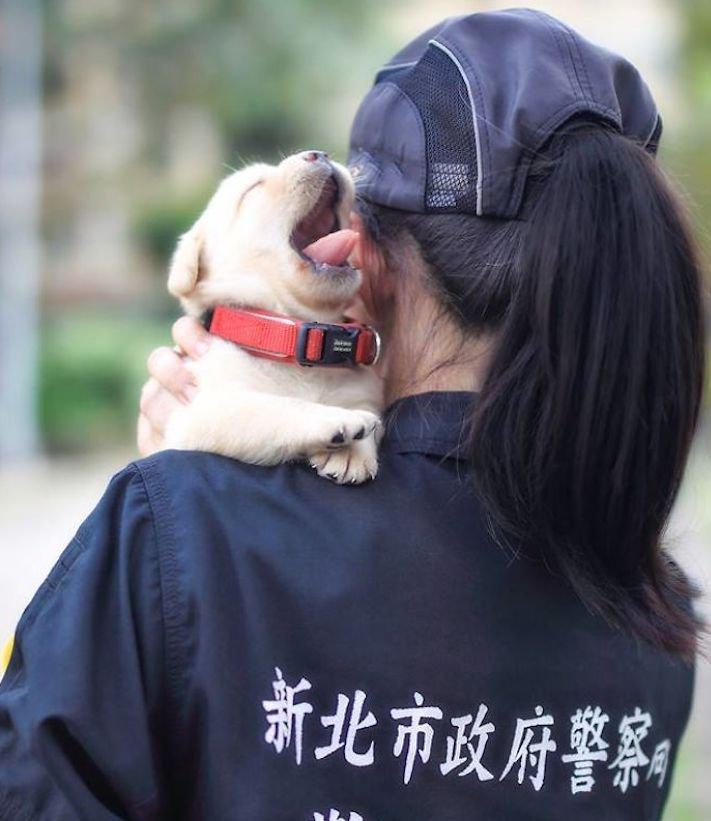 policejní pes psi zlatý retrívr retriever labradorský labrador obrázky štěňat štěně hledání výbušnin drog pachatelů zloděju psy3