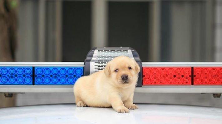 policejní pes psi zlatý retrívr retriever labradorský labrador obrázky štěňat štěně hledání výbušnin drog pachatelů zloděju psy4