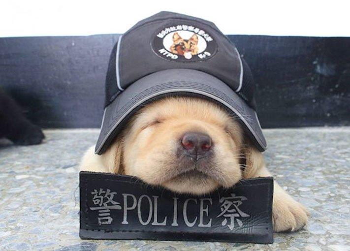 policejní pes psi zlatý retrívr retriever labradorský labrador obrázky štěňat štěně hledání výbušnin drog pachatelů zloděju psy5