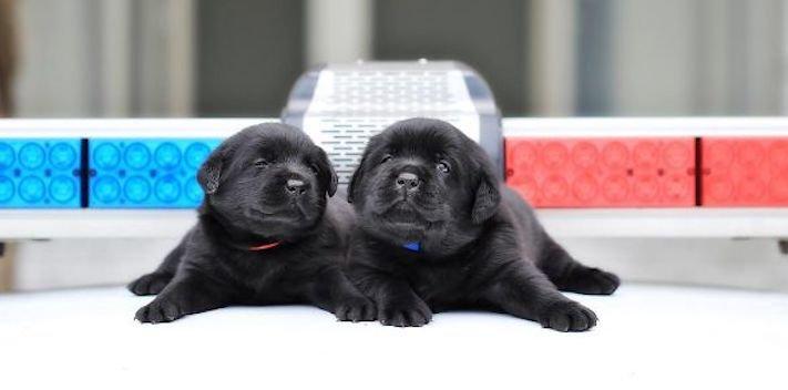 policejní pes psi zlatý retrívr retriever labradorský labrador obrázky štěňat štěně hledání výbušnin drog pachatelů zloděju psy7