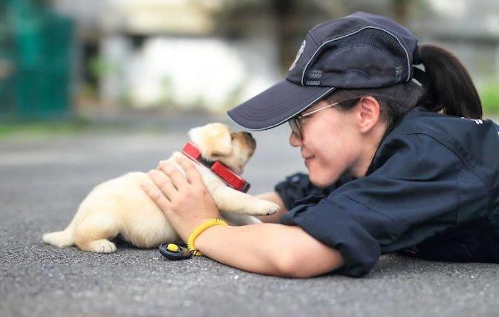 policejní pes psi zlatý retrívr retriever labradorský labrador obrázky štěňat štěně hledání výbušnin drog pachatelů zloděju psy10