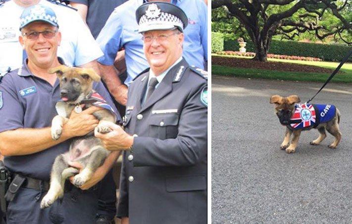 policejní pes německý ovčák nejlepší plemeno obrázky psí zkoušky policejních psů2