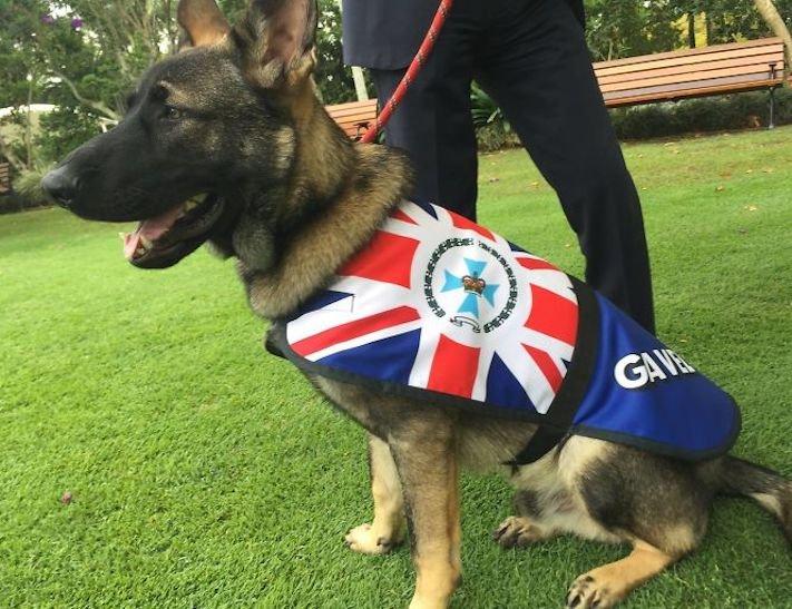 policejní pes německý ovčák nejlepší plemeno obrázky psí zkoušky policejních psů6