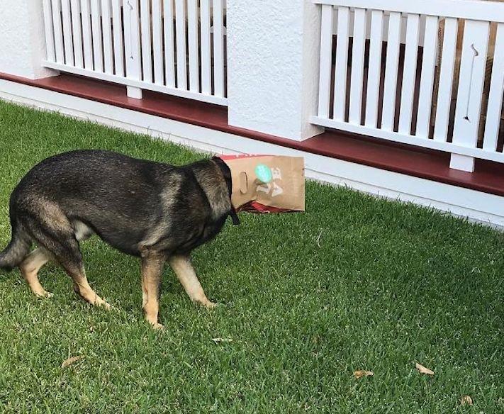 policejní pes německý ovčák nejlepší plemeno obrázky psí zkoušky policejních psů7