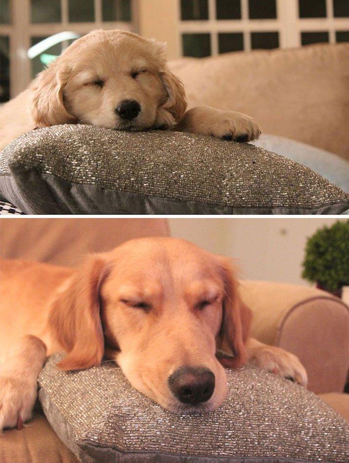 pes nejlepší přítel člověka vyrůstání dospívání psů obrázky fotografie jak rychle roste pes6